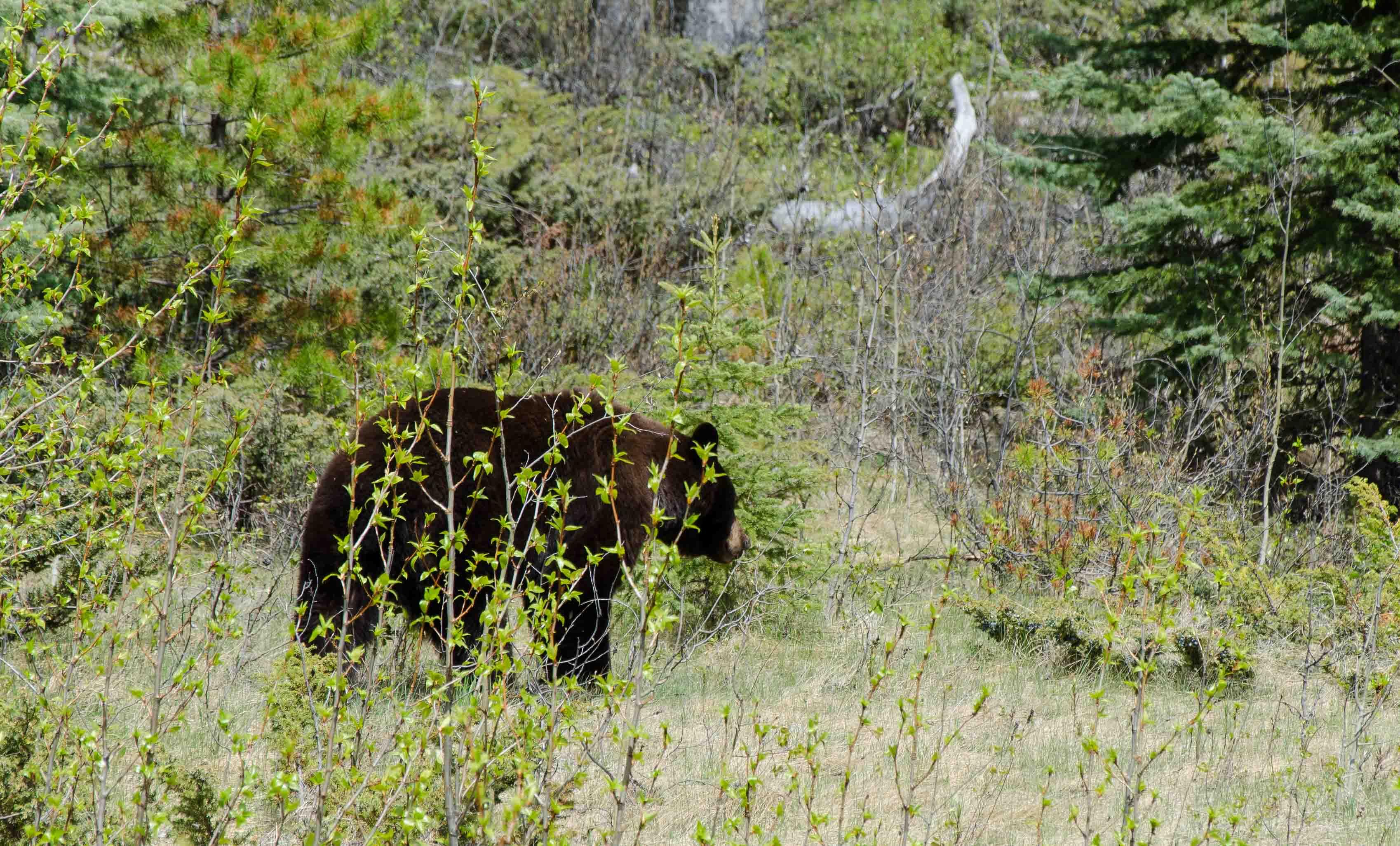 190523_Black_bear_0001.JPG