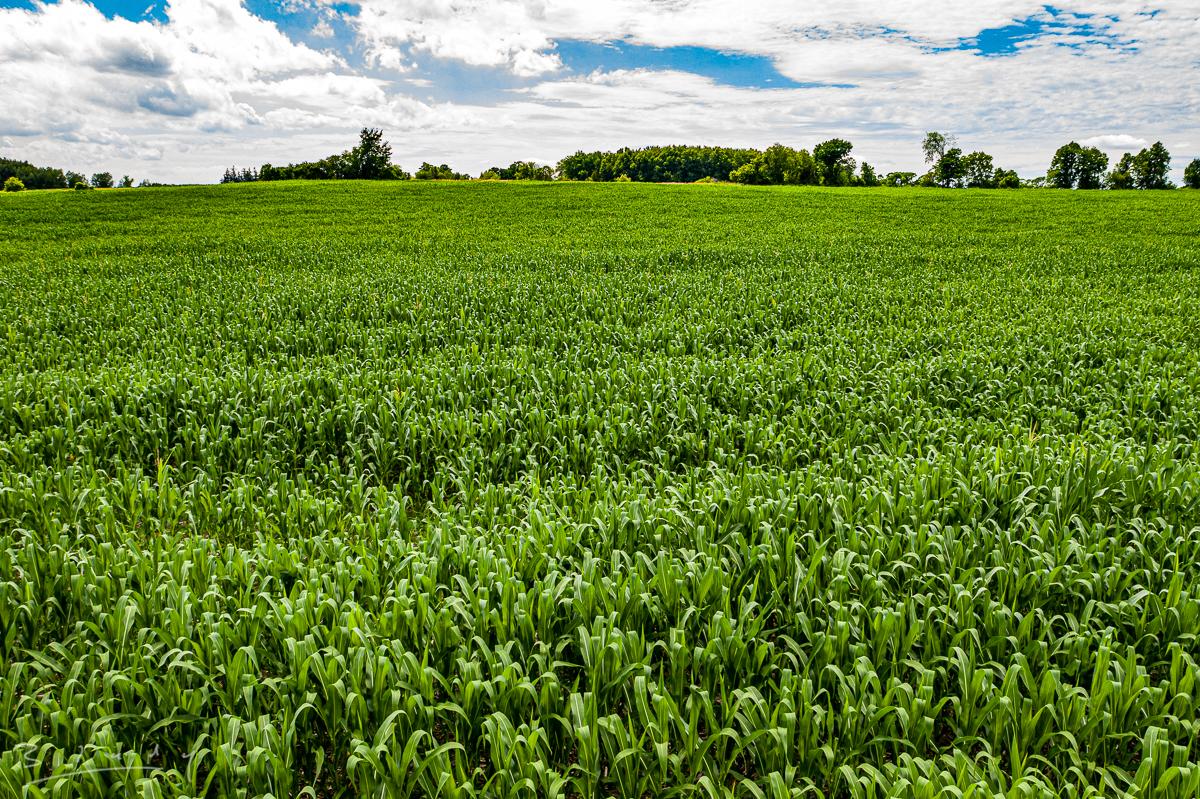 Corn fields of Pickering 20200722-18.jpg