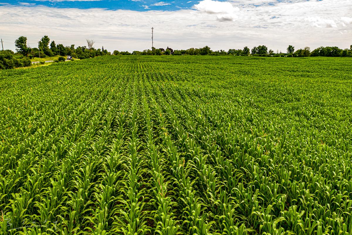 Corn fields of Pickering 20200722-13.jpg