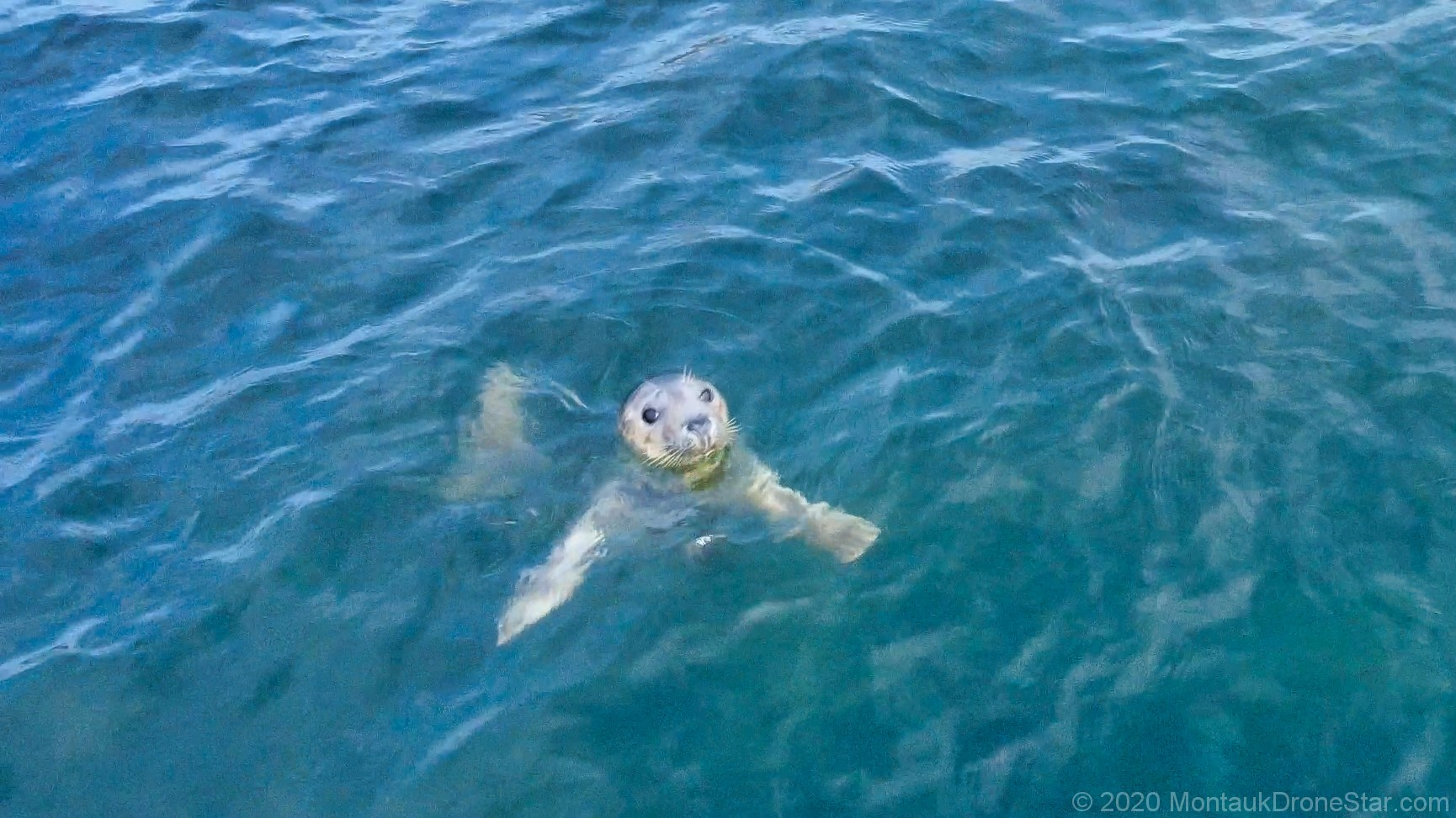Small seal near Montauk, NY